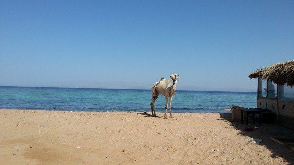 Море и верблюд, Дахаб, Египет
